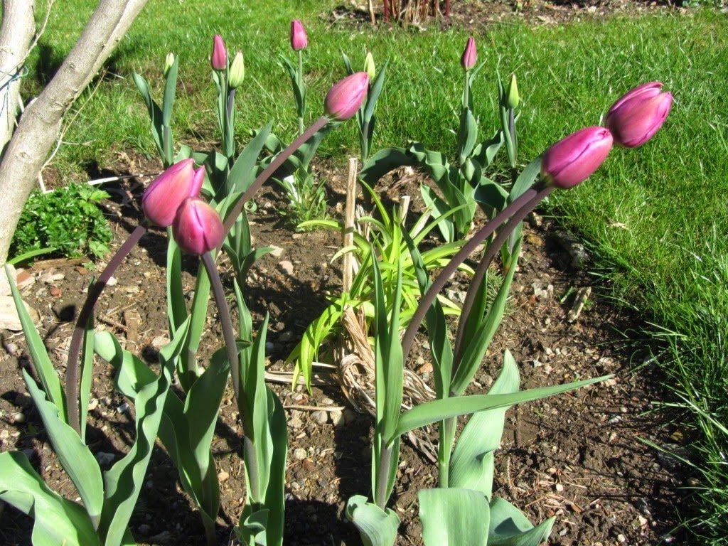 abgefressen an tulpen